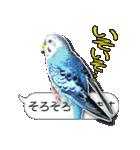 セキセイ インコのPちゃん、鳥の吹き出し。(個別スタンプ:36)