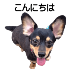 チワックス (ダックスフンド&チワワ) 1.1