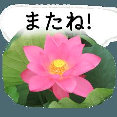 暮らしに花を♪ハス