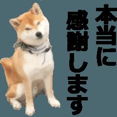 しゃべる柴犬(挨拶編1)