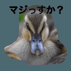 おしゃべりカルガモちゃん(2)