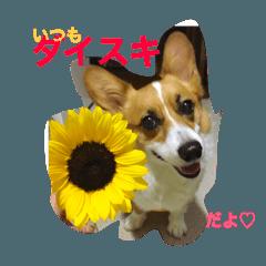 corgi☆Monday☆