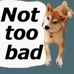 しゃべる柴犬(日常会話編/英語版1)