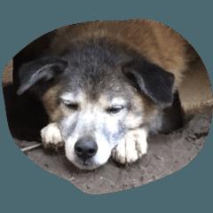 屋久島犬のミックス犬です。
